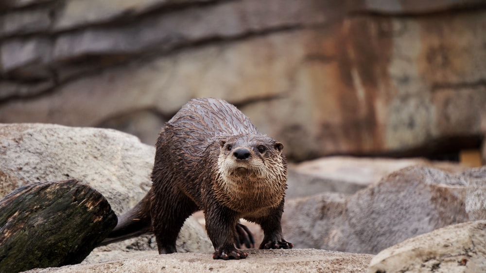 brown beaver standing on gray rocks during daytime