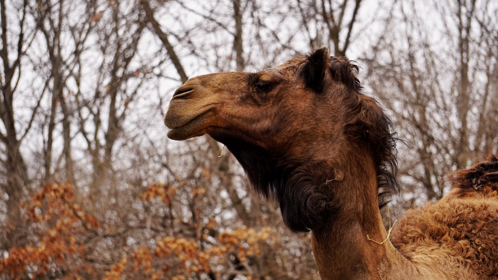 focus photography of brown camel