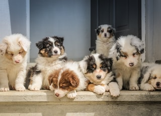 long-coated white puppy litter