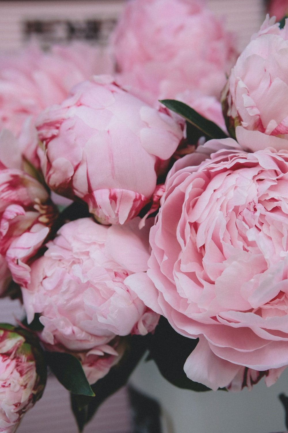 Peony Pictures Hd Download Free Images Stock Photos On Unsplash