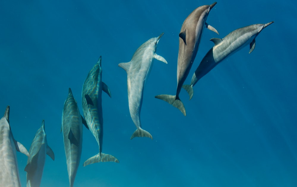 dolphins under body of water