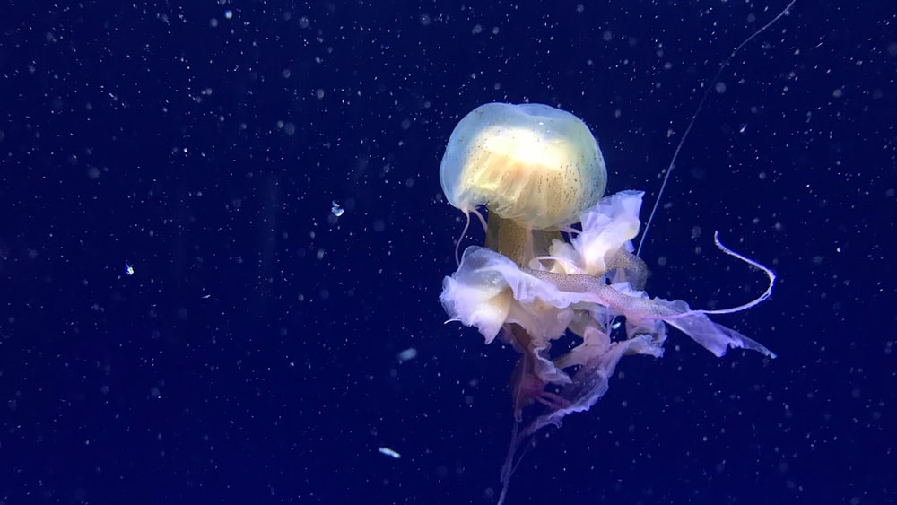yellow jellyfish swimming in water