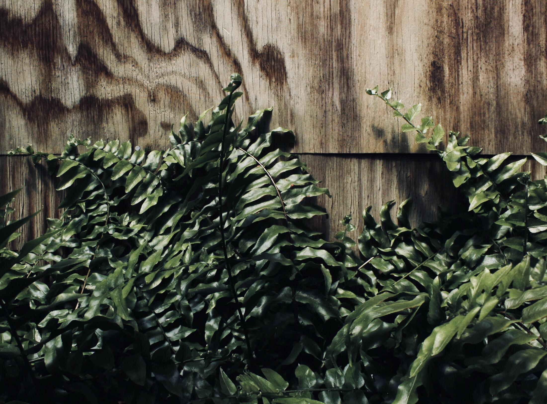 Boston fern leaf on wooden surface