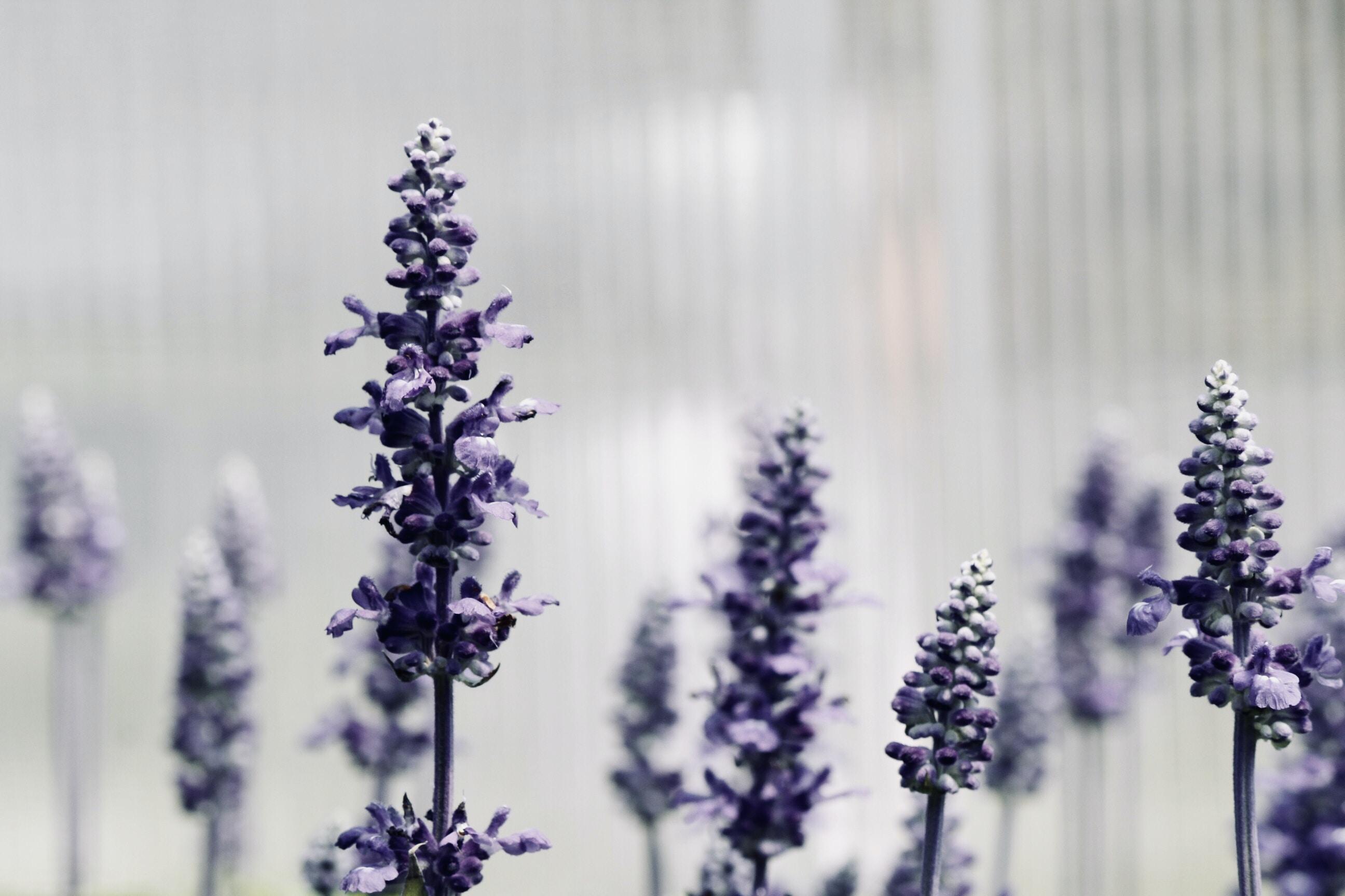 focused photo of a purple lavander