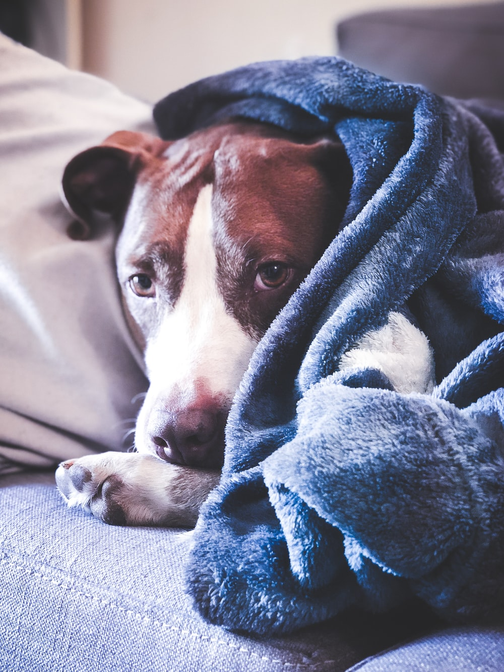 brown and white short coated dog covered with blue blanket