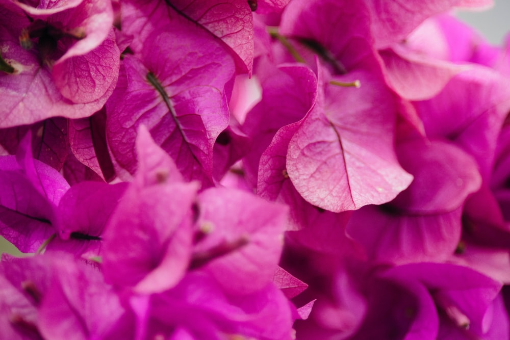 selective focus photography of pink bougainvillea