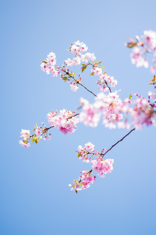 pink flowers tree