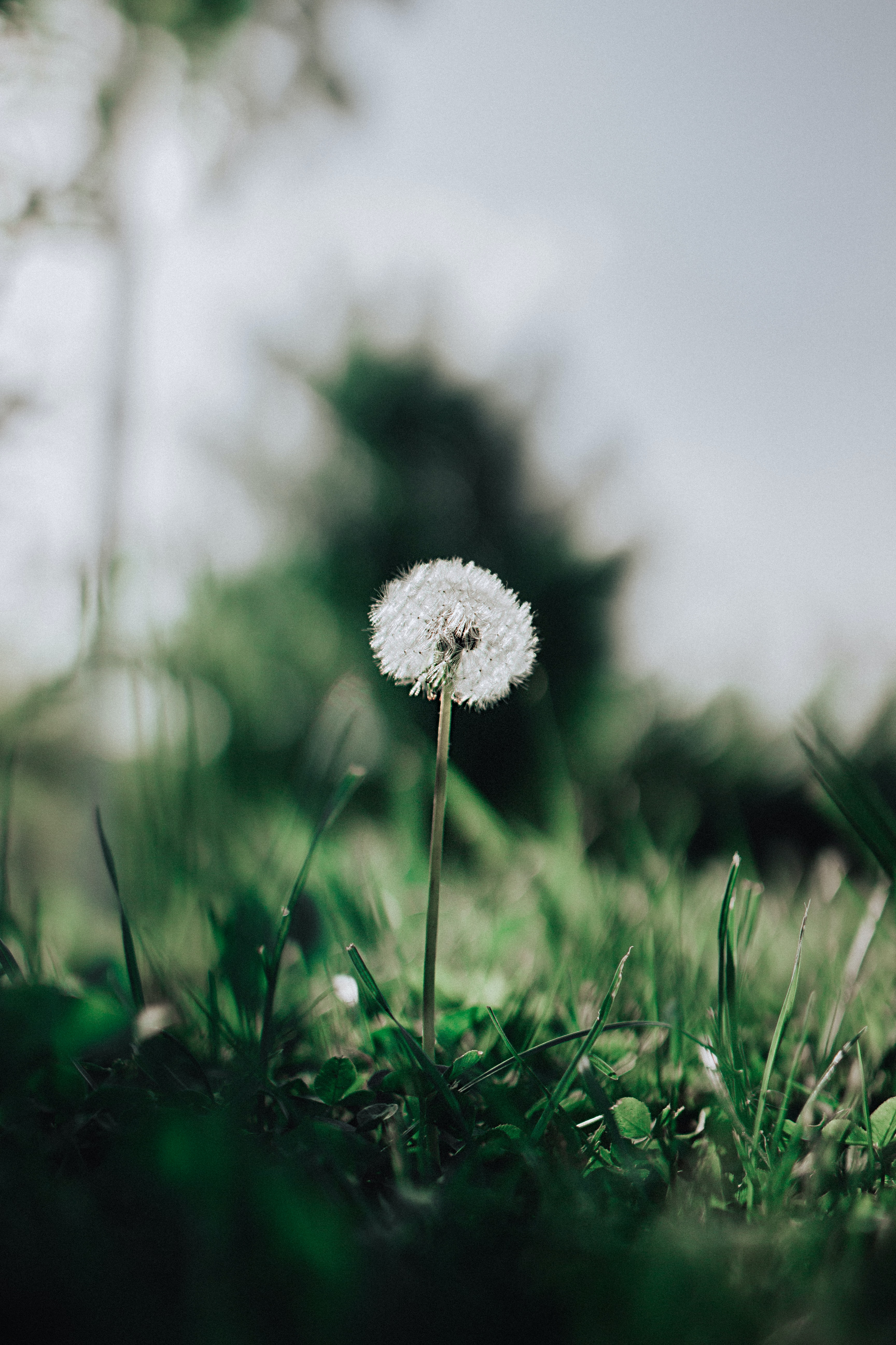 dandelion flower with green grass