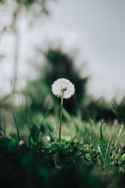 dandelion flower with green grass
