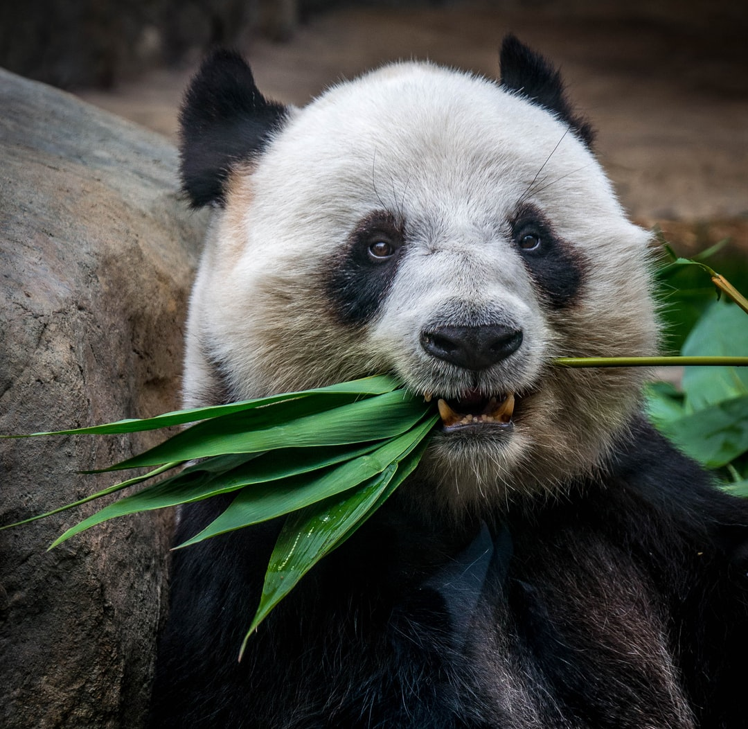 panda eating plant