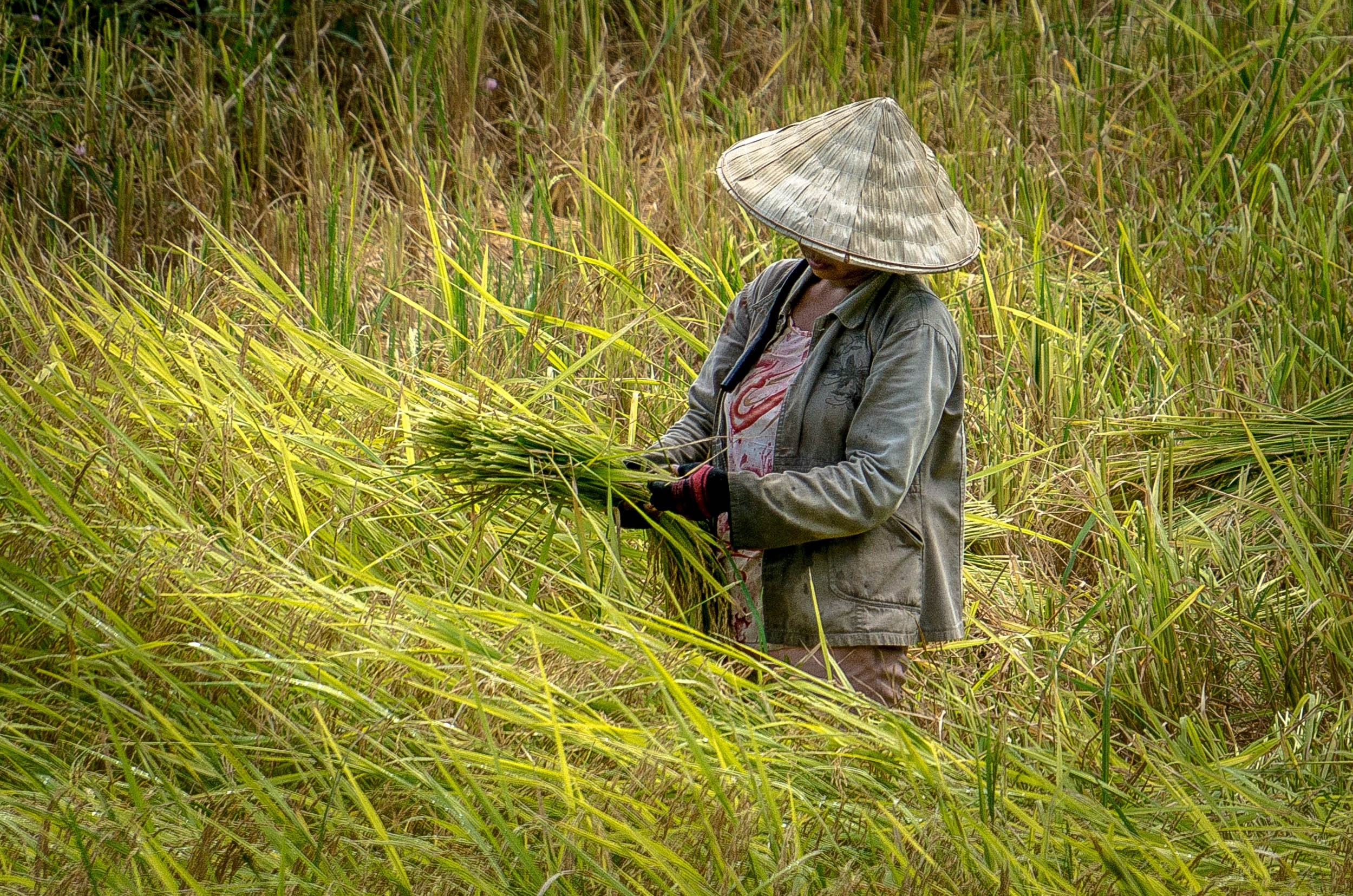 person wearing hat picking paddy plant