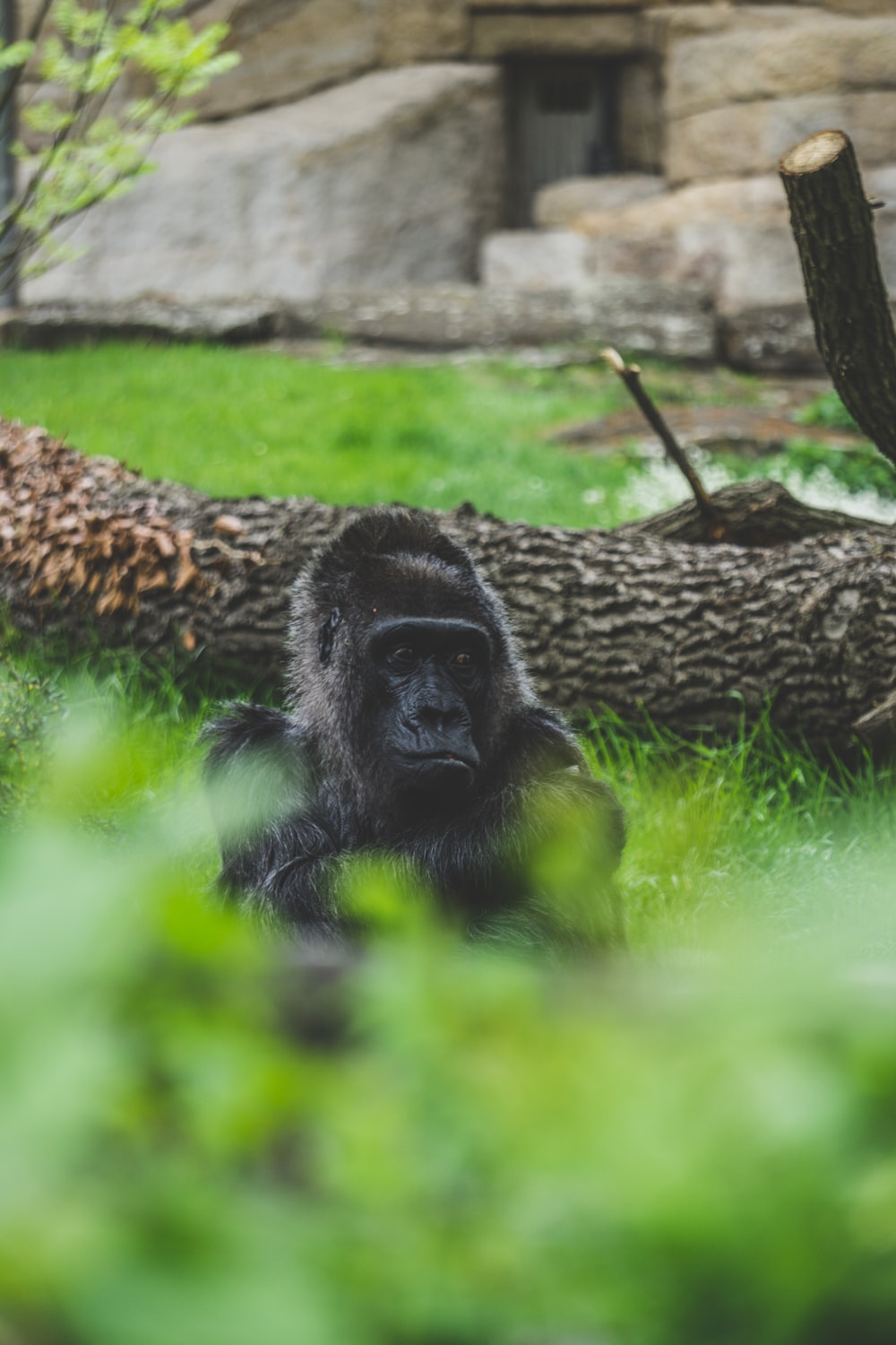 black Orangutan behind green bushes near tree trunk at daytime