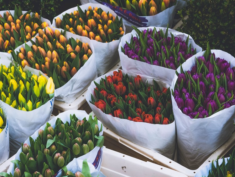 Různě barevná poupata tulipánů