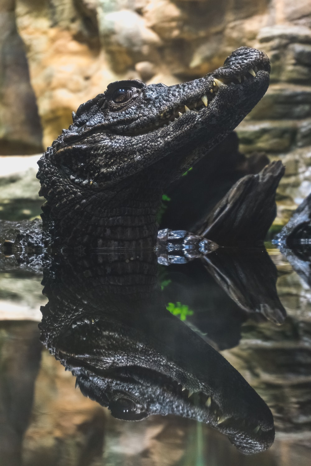 close up photography of black alligator on water