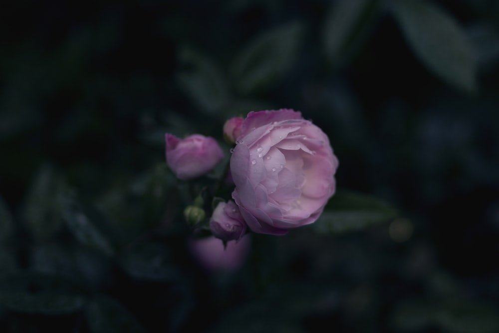 selective focus photo of pink roses