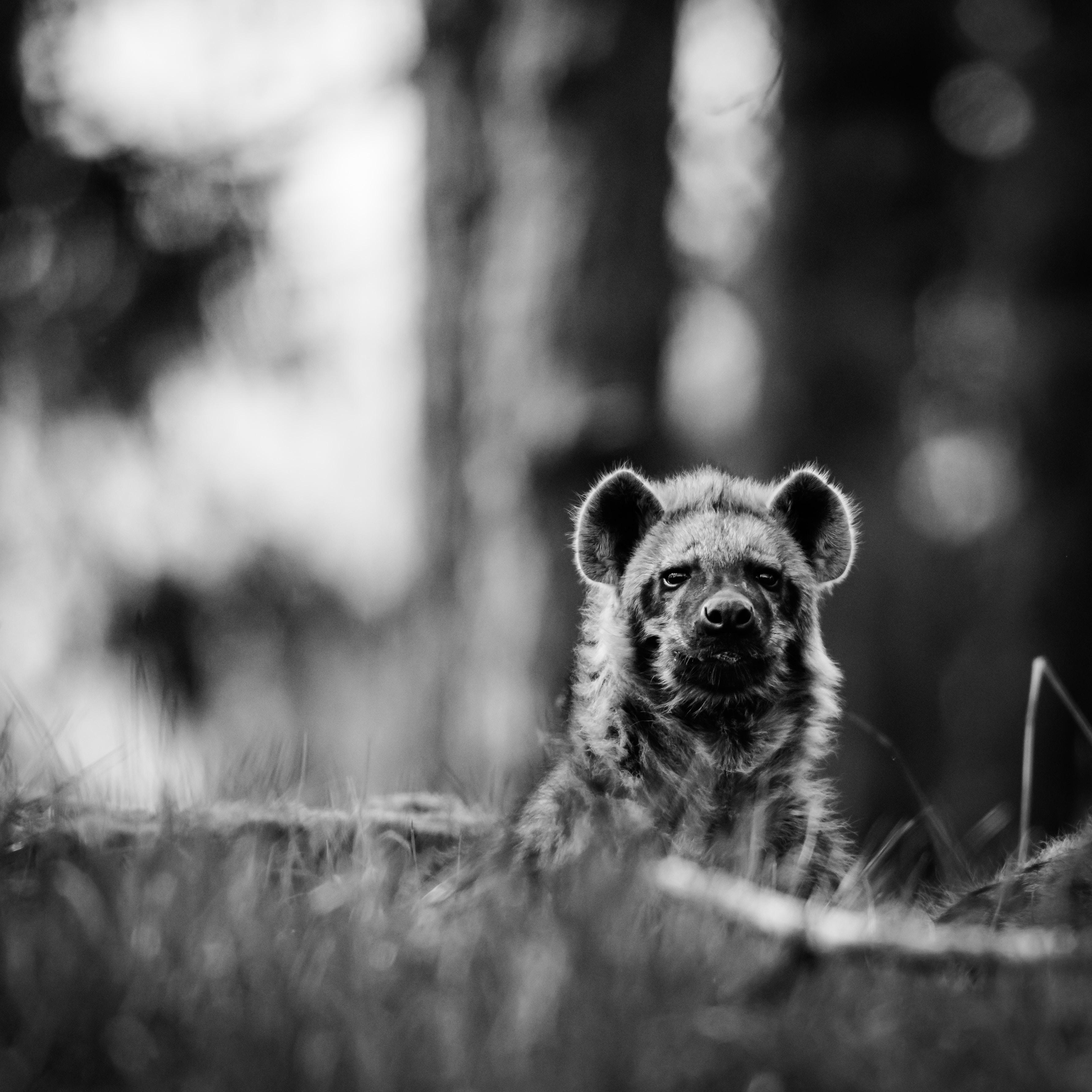 gray scale photography of hyena