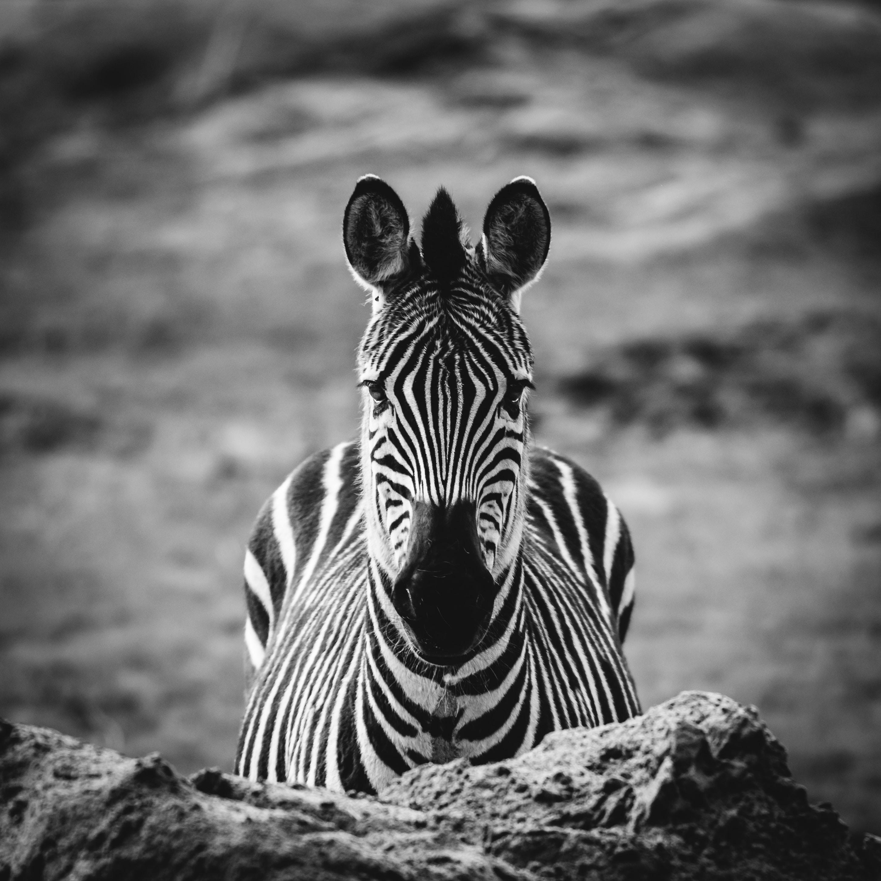 grayscale photo of zebra