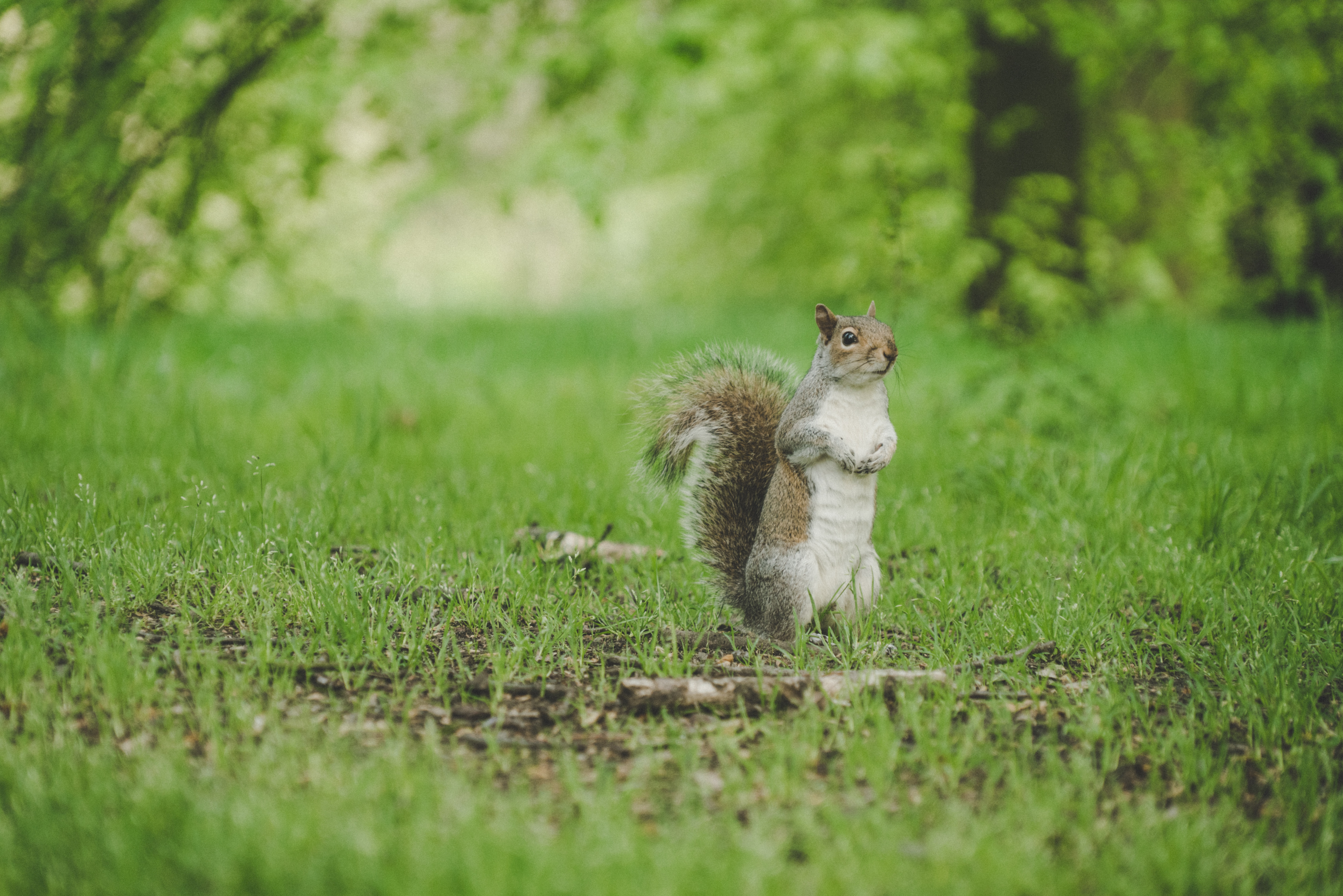 squirrel standing on green grass field