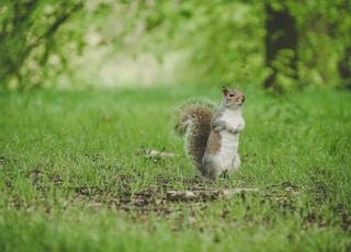 squirrel standing on green grass field