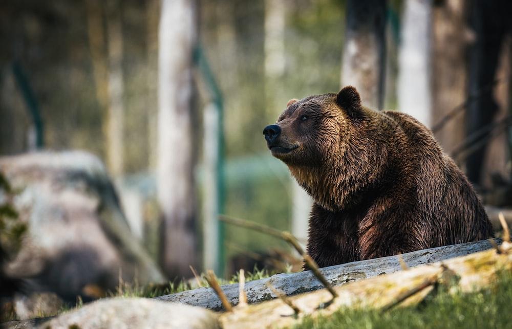 American brown bear