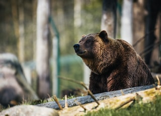 American brown bear