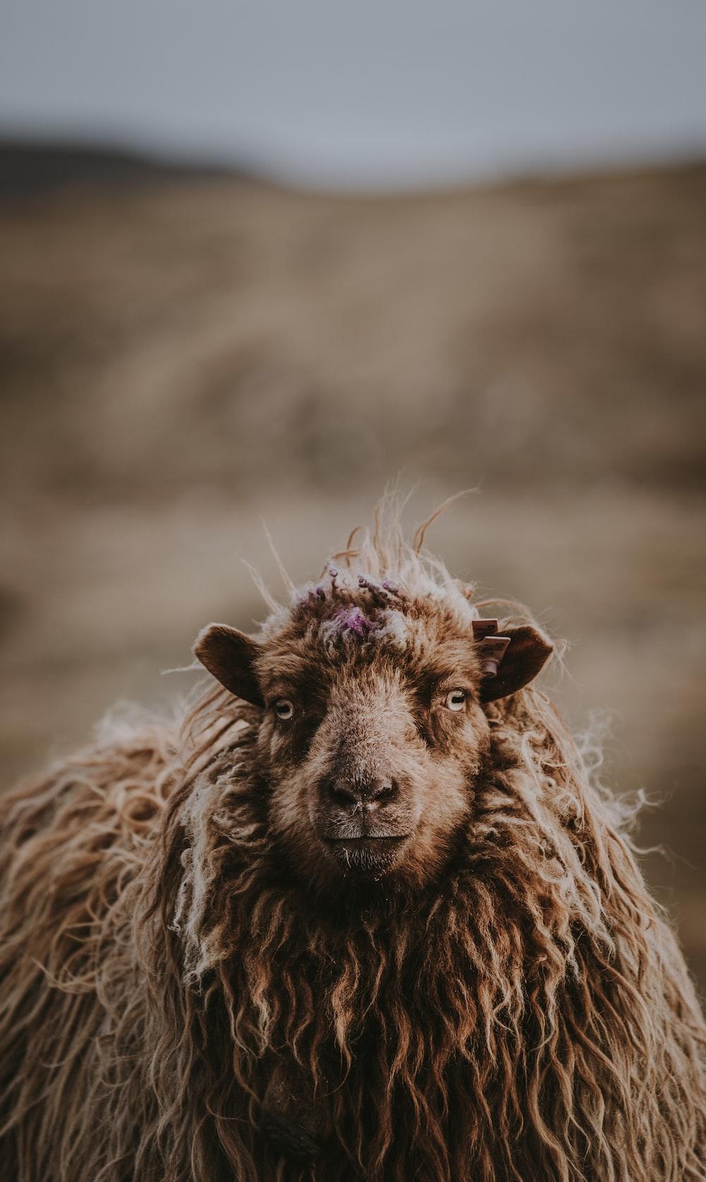 closeup of brown sheep