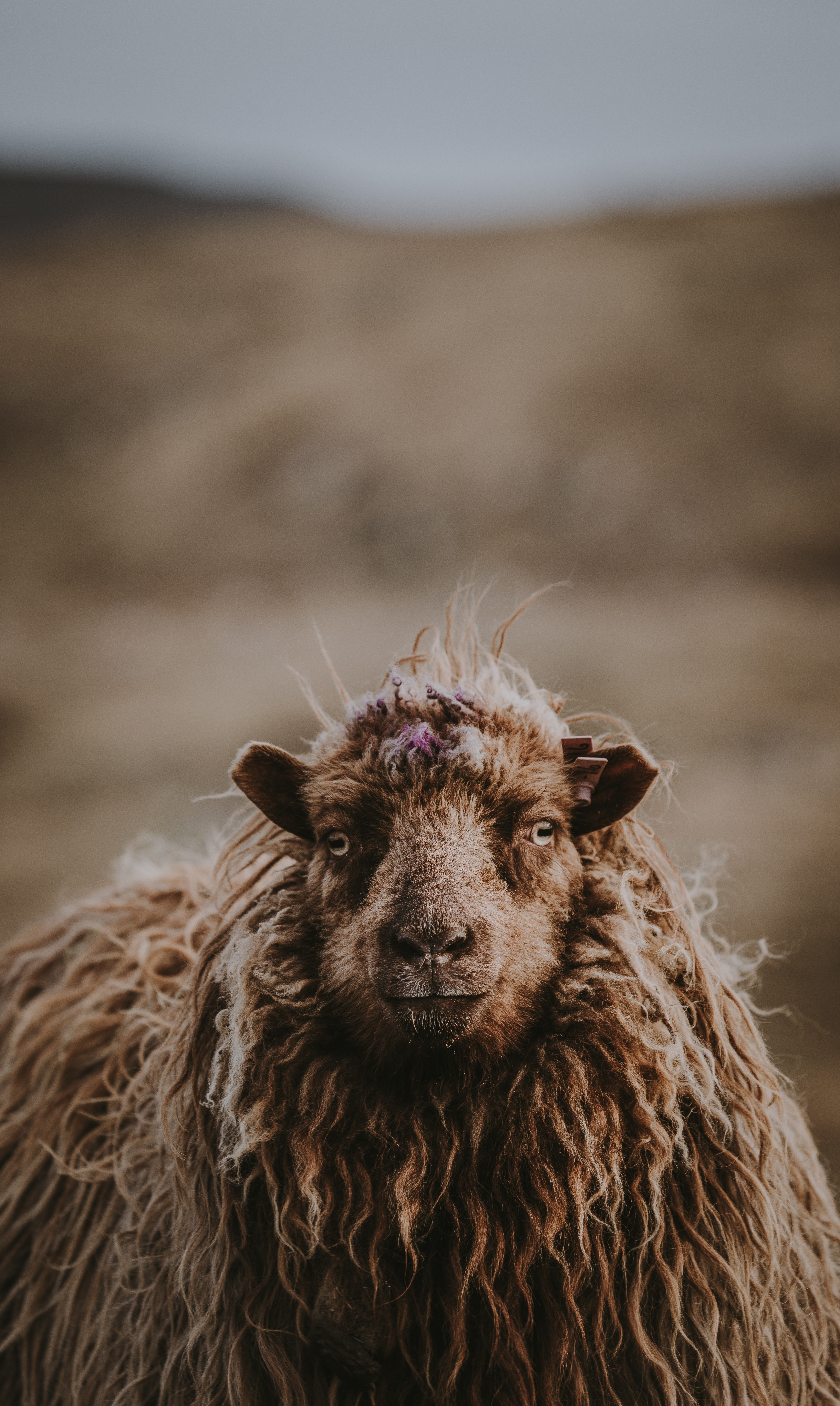 closeup of brown sheep