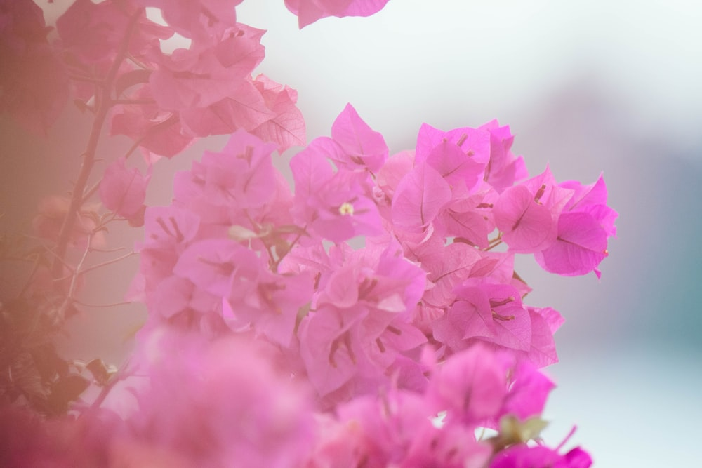 pink petaled flowers in closeup photography
