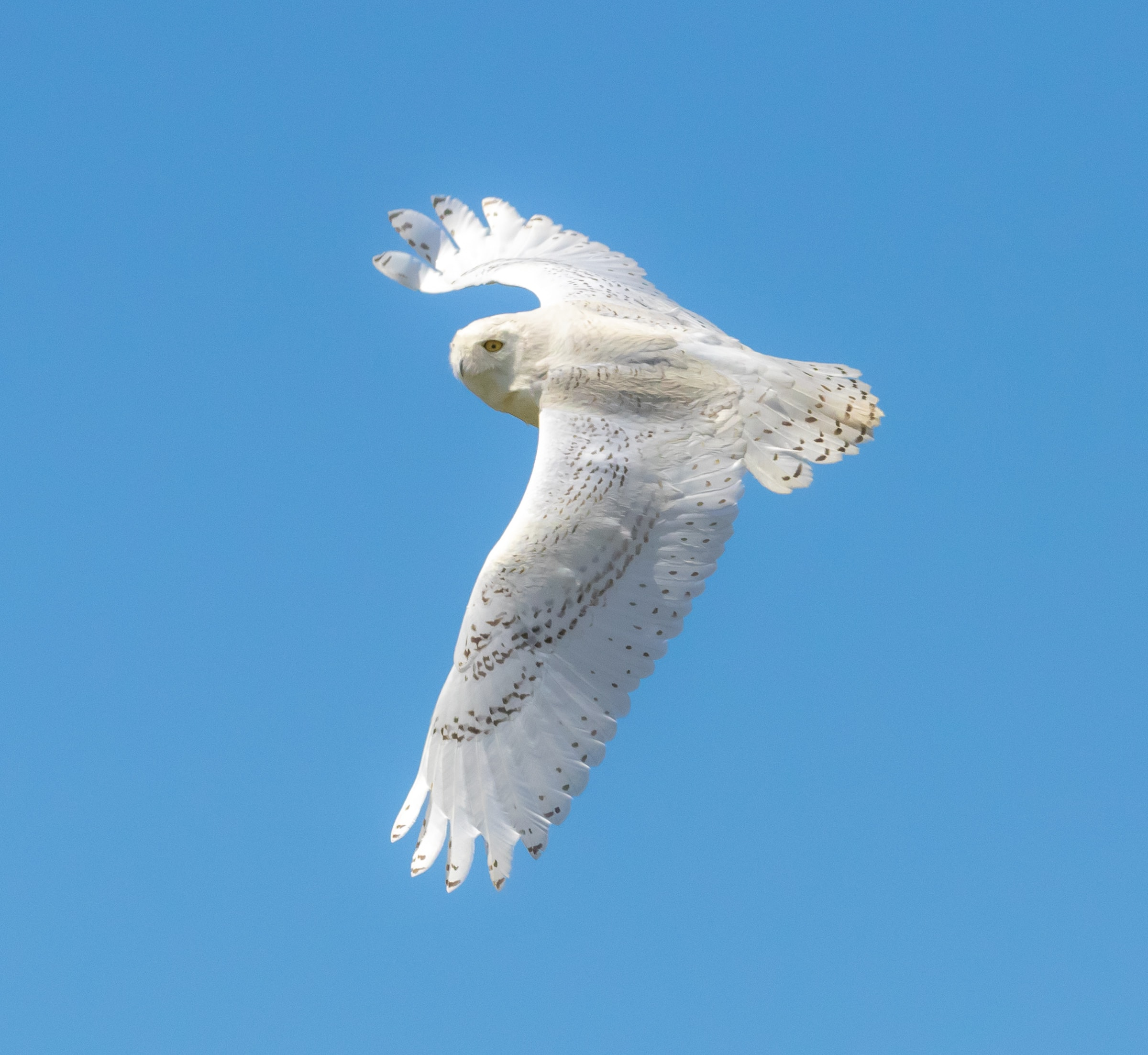 closeup photo of flying white owl