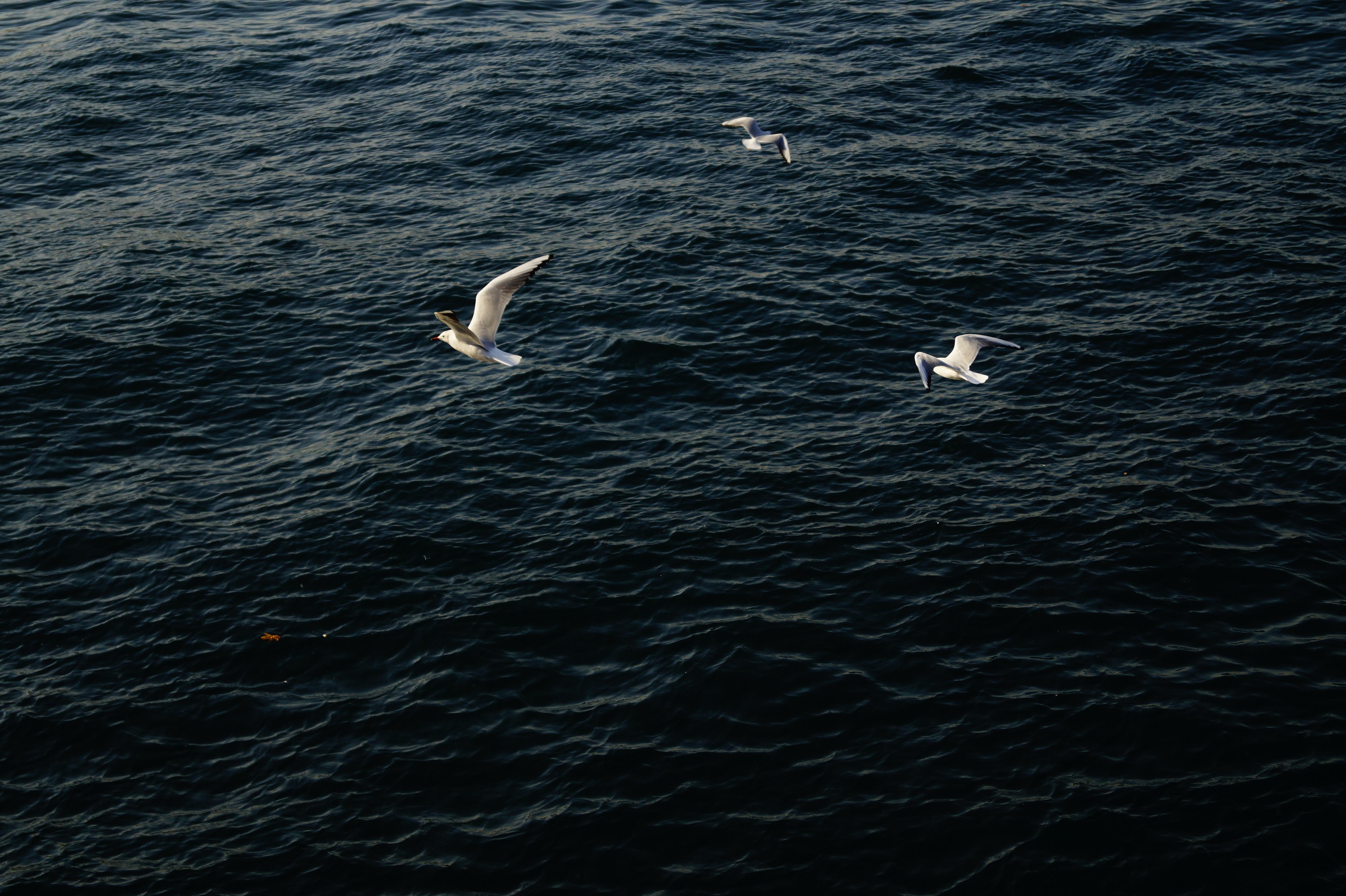 three white birds on flight above clear blue sea