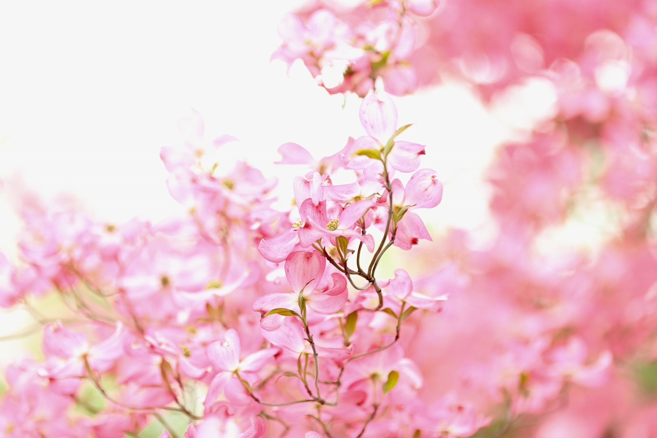 focused photo of a cherry blossom