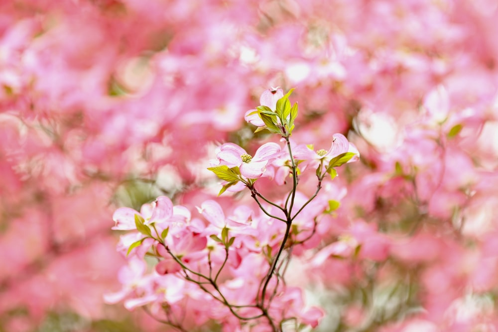 100 pink flowers pictures download free images on unsplash 40 mightylinksfo