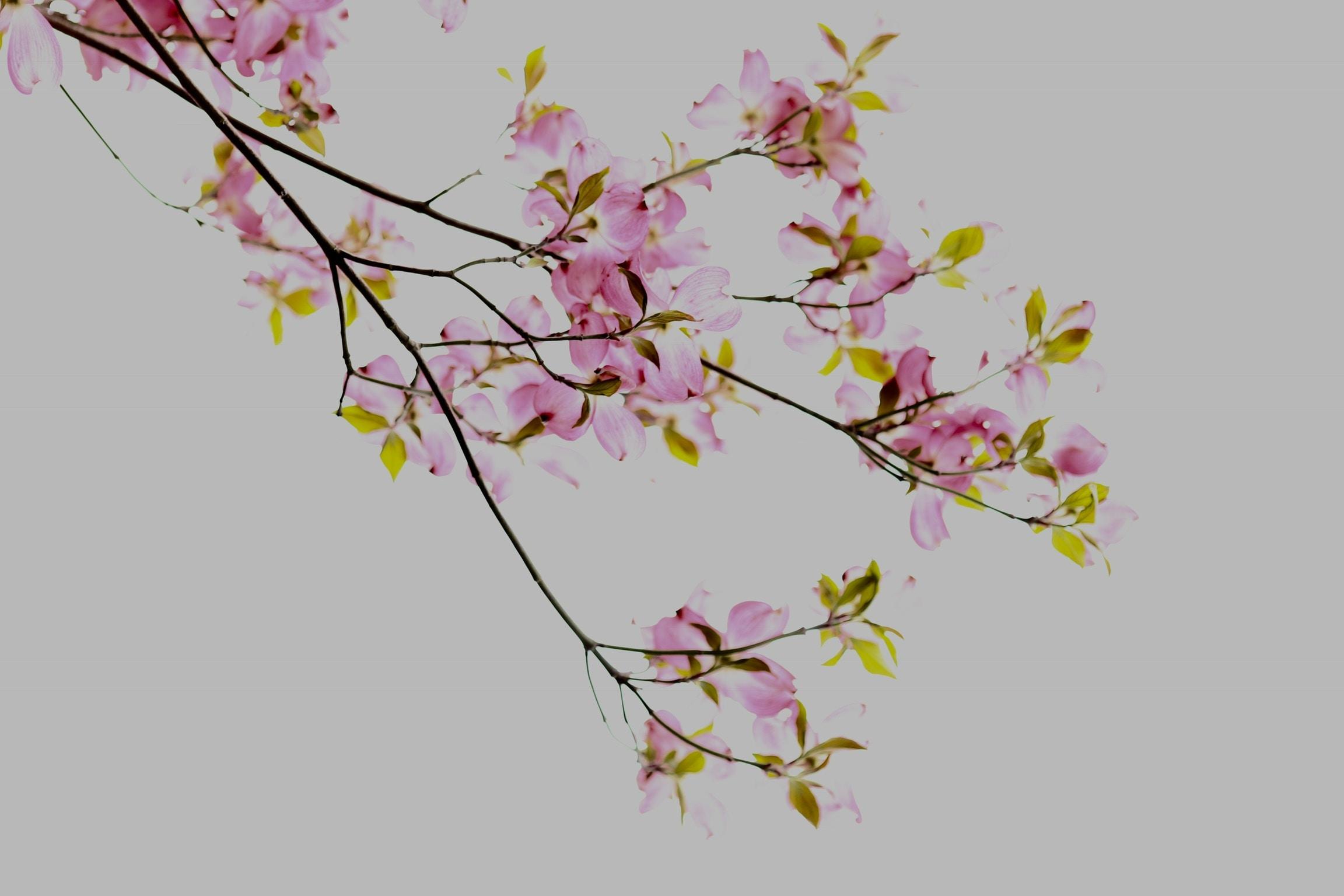photo of pink petaled tree