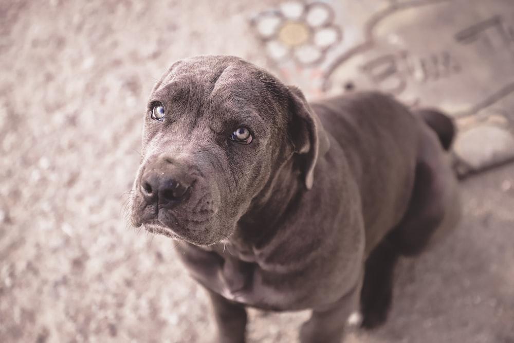 short-coated gray dog sitting