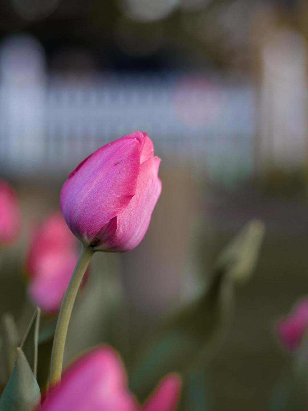tilt shift lens photo of pink tulips
