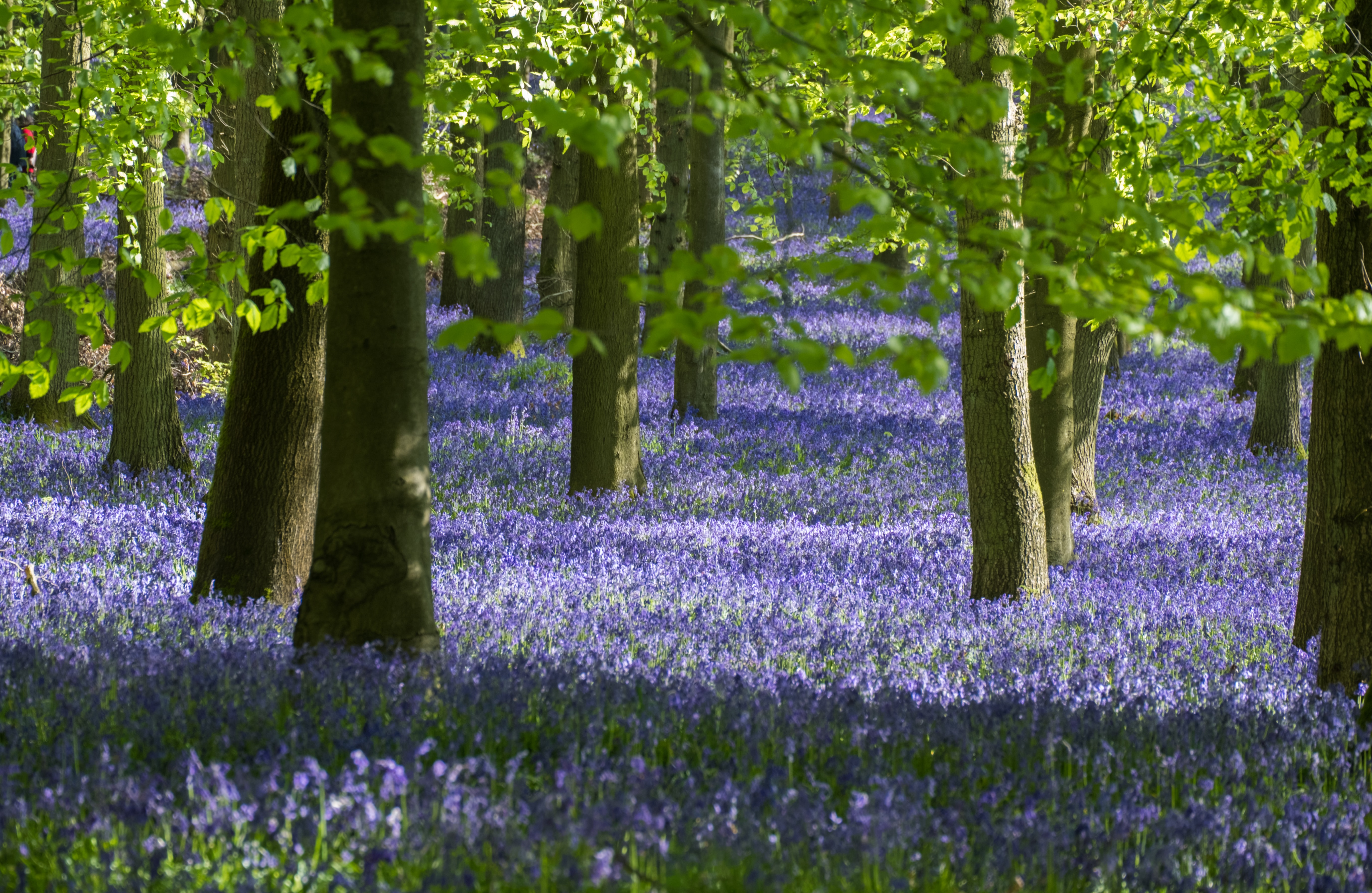 bluebell wood in the lake district