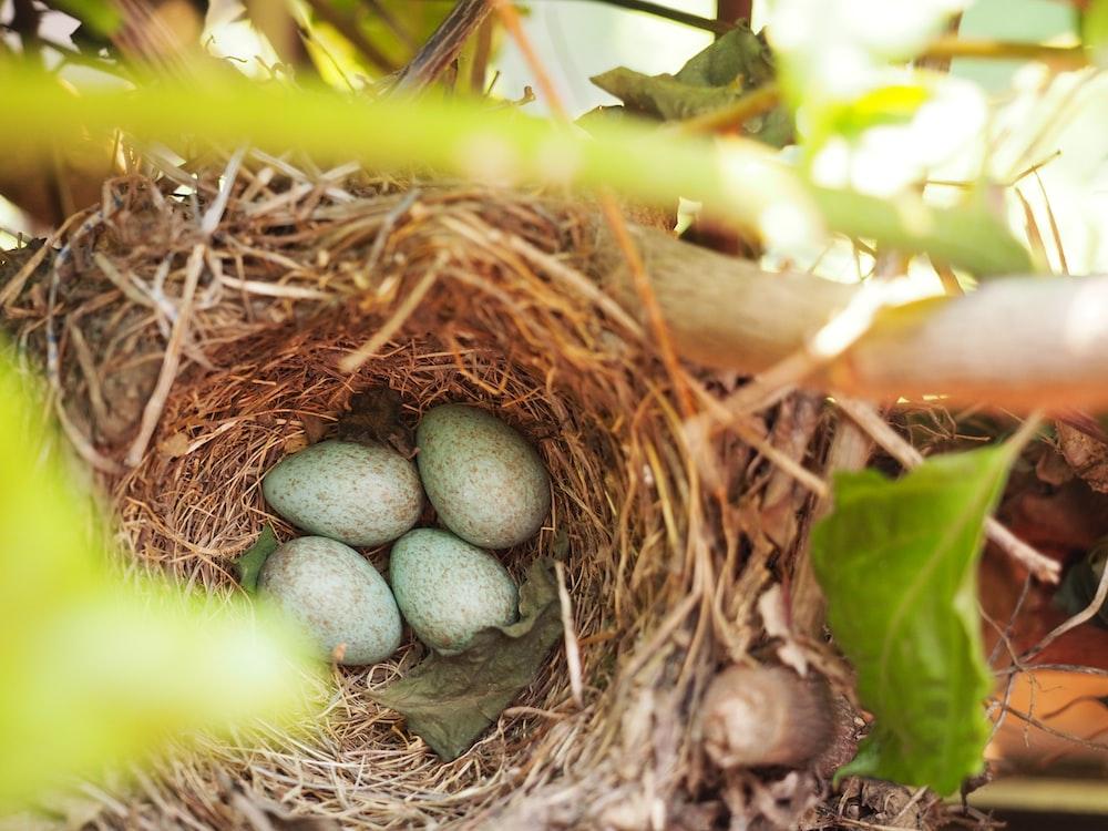 four bird's eggs on nest