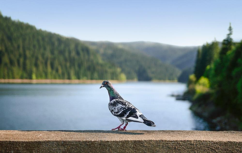 rock dove on concrete surface