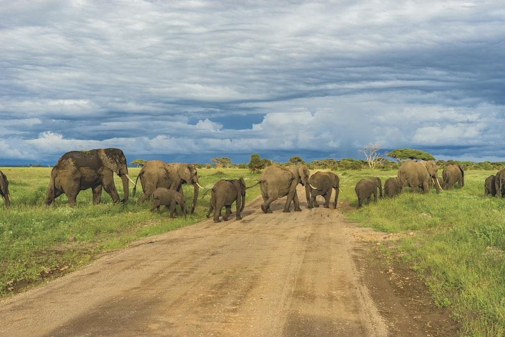 bunch of mammoth walking across road