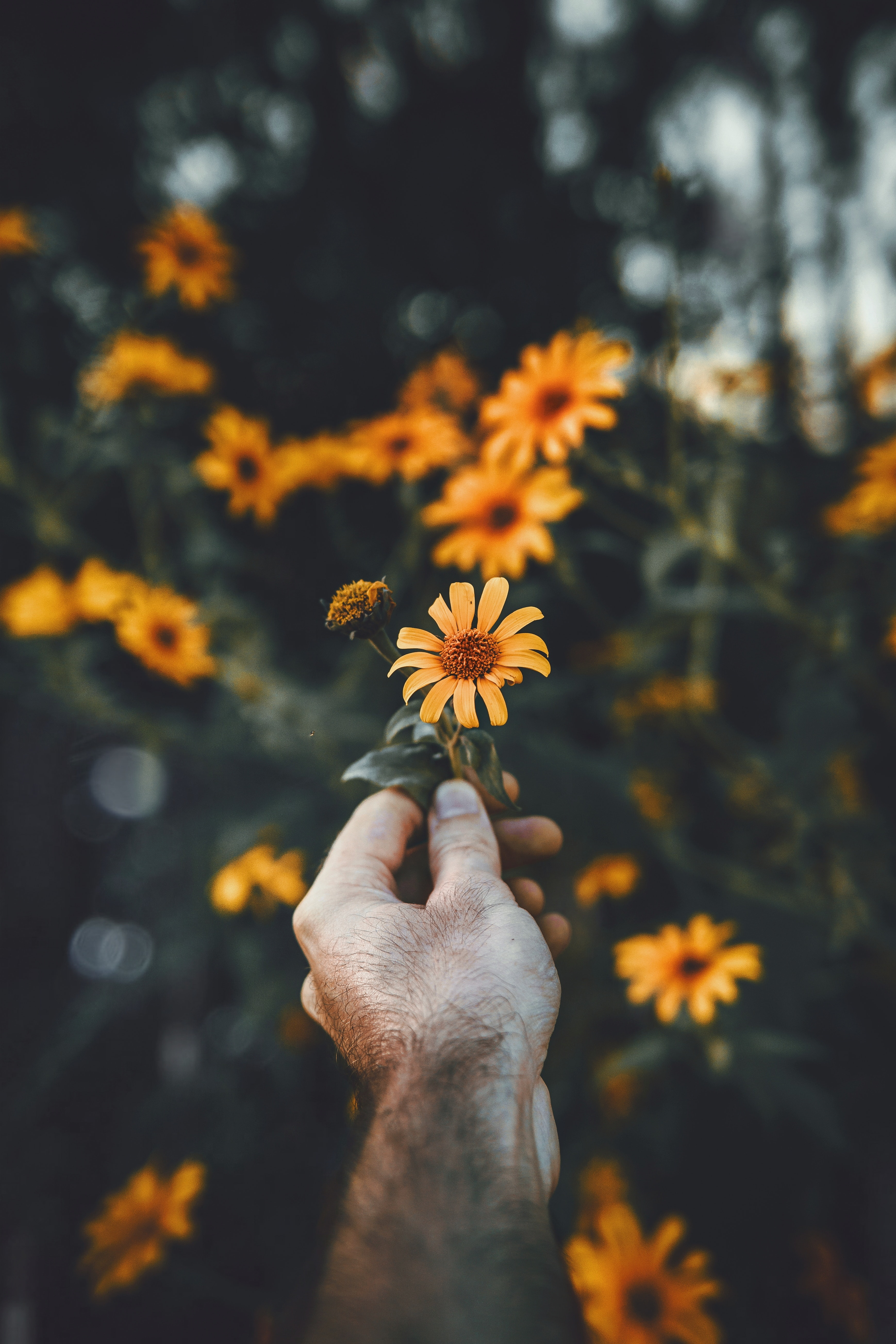 person holding orange daisy flower