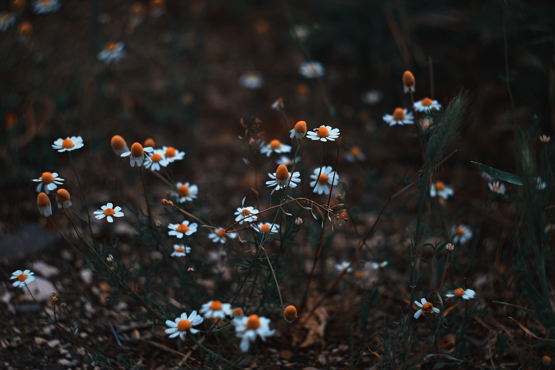 white petaled flower field