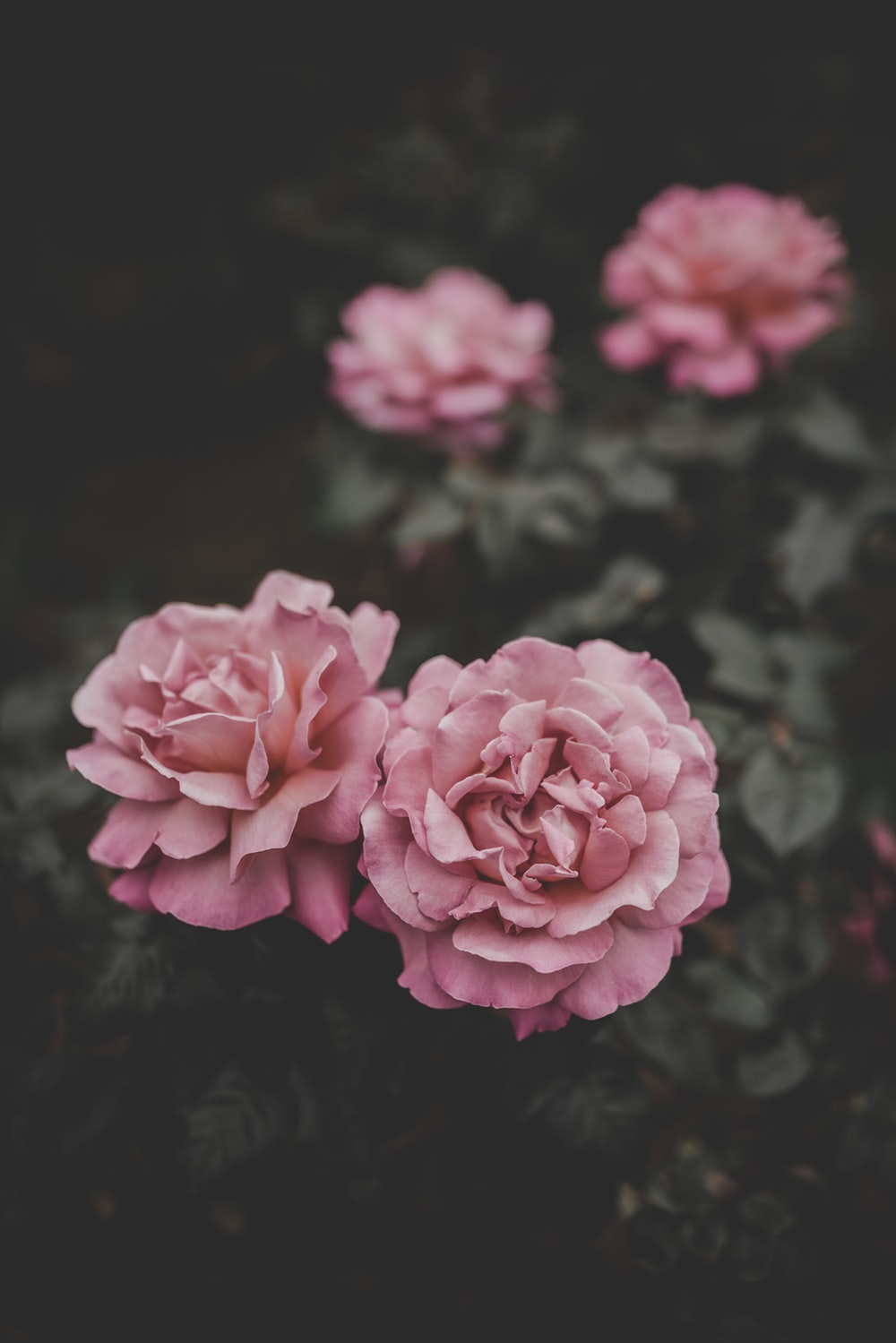 selective focus of two pink petaled flowers