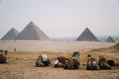 five camel sitting on ground pyramids teams background