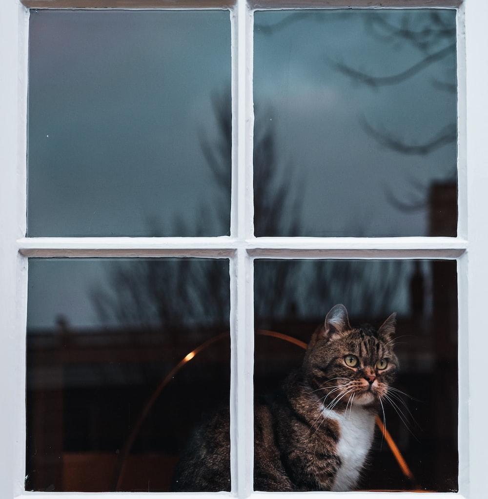 silver tabby cat seeing on window