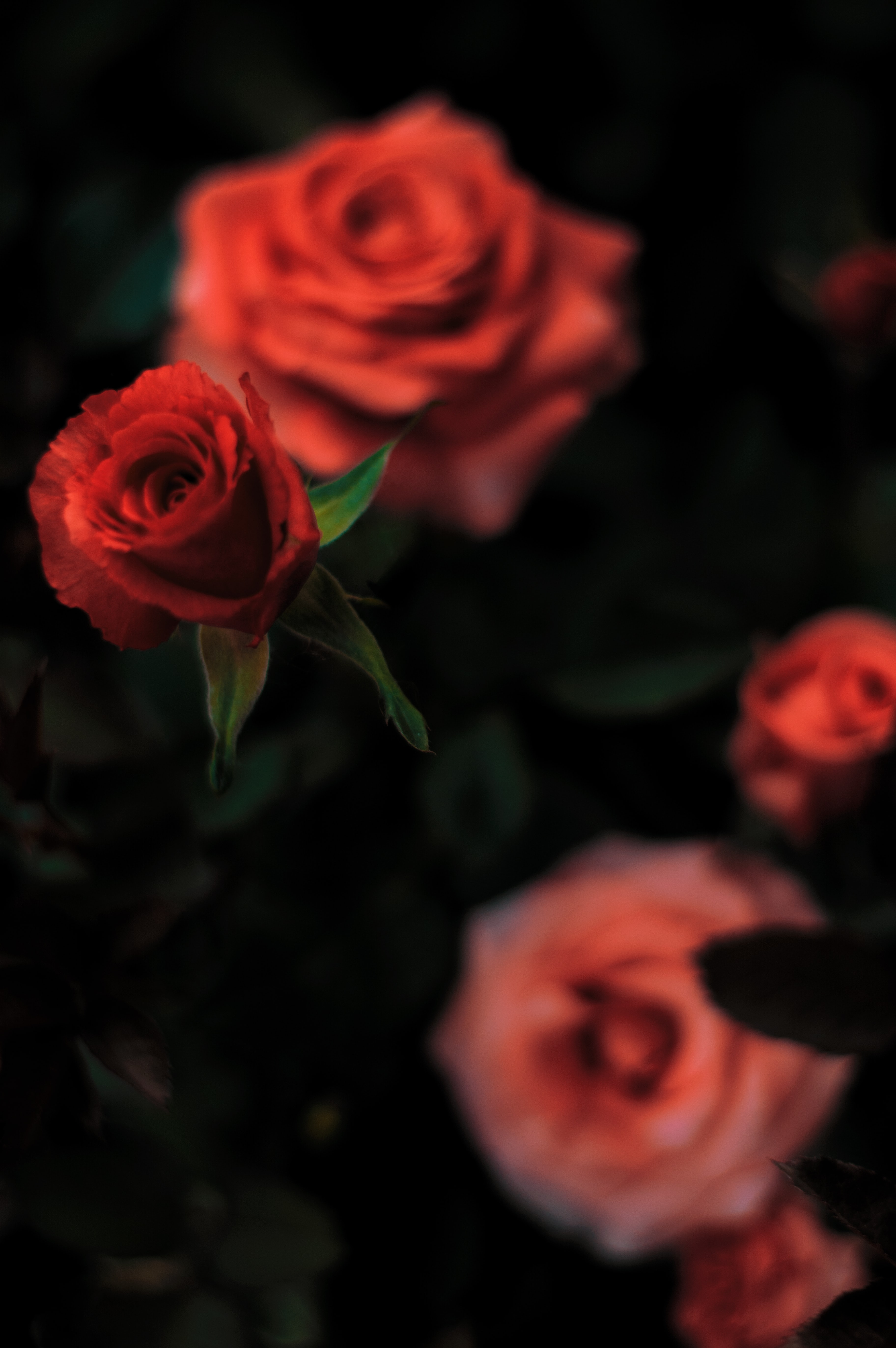 red rose in shallow focus photography