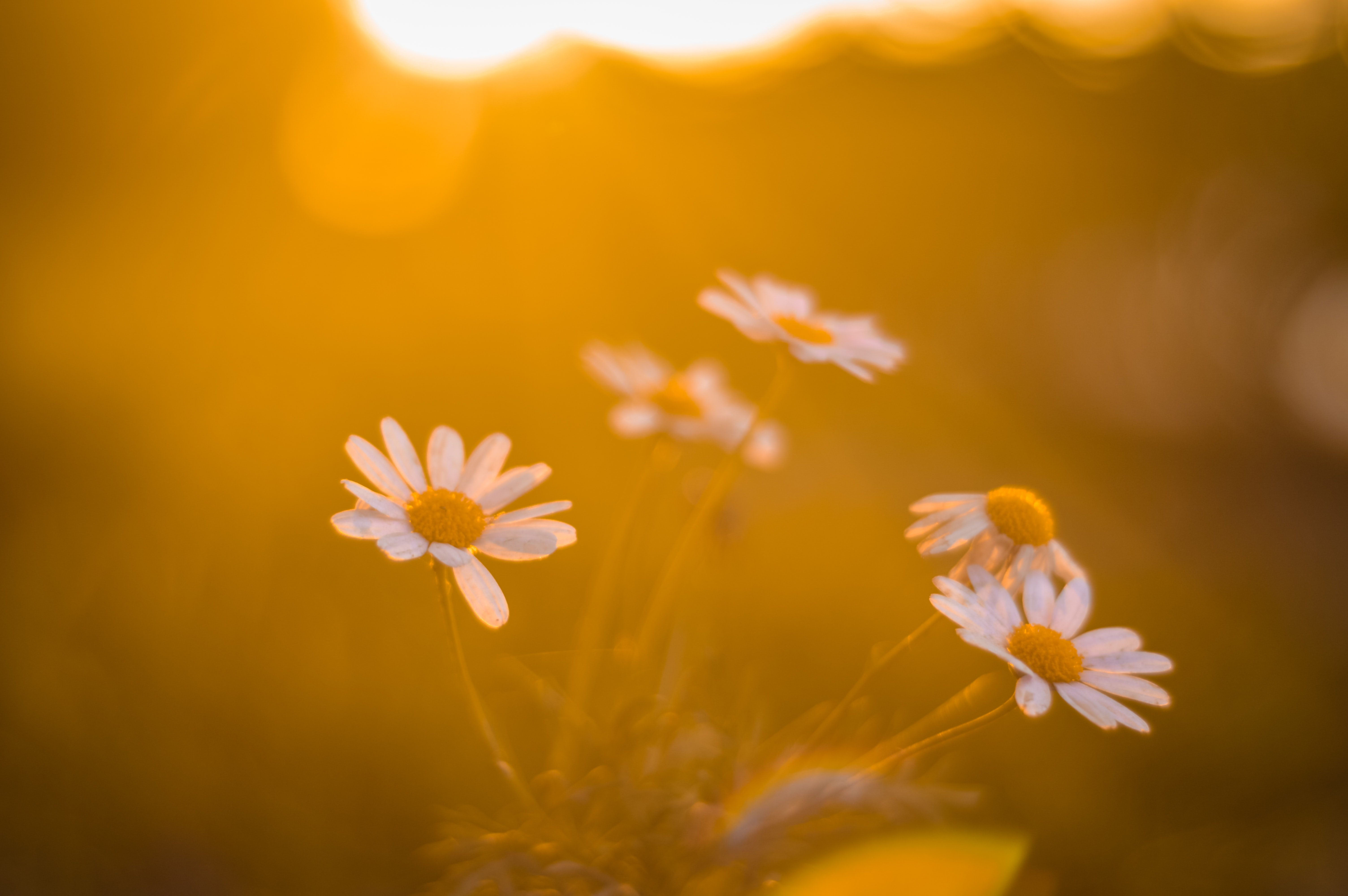 ox-eyed daisy during golden hour