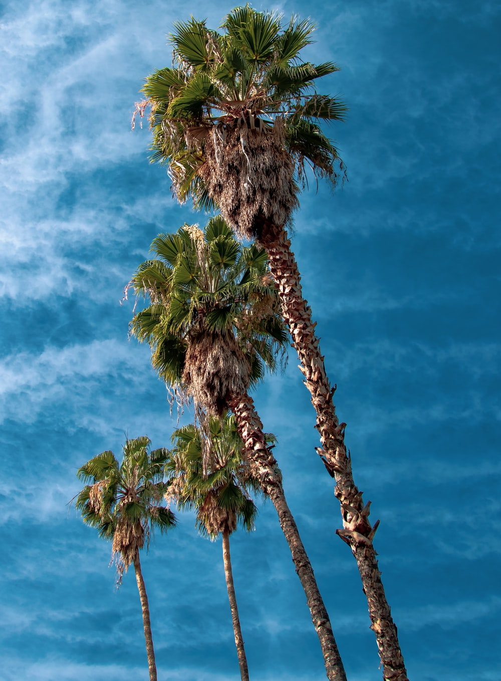 four palm oil trees under blue sky