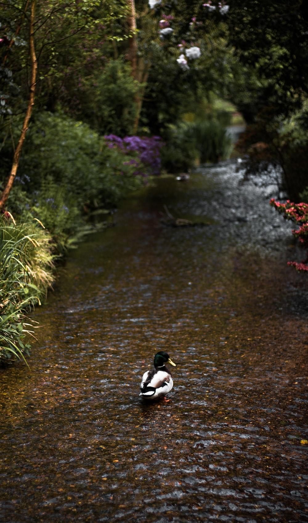 mallard duck on stream