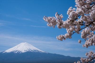 cherry blossom distance with mount fuji, japan sakura teams background