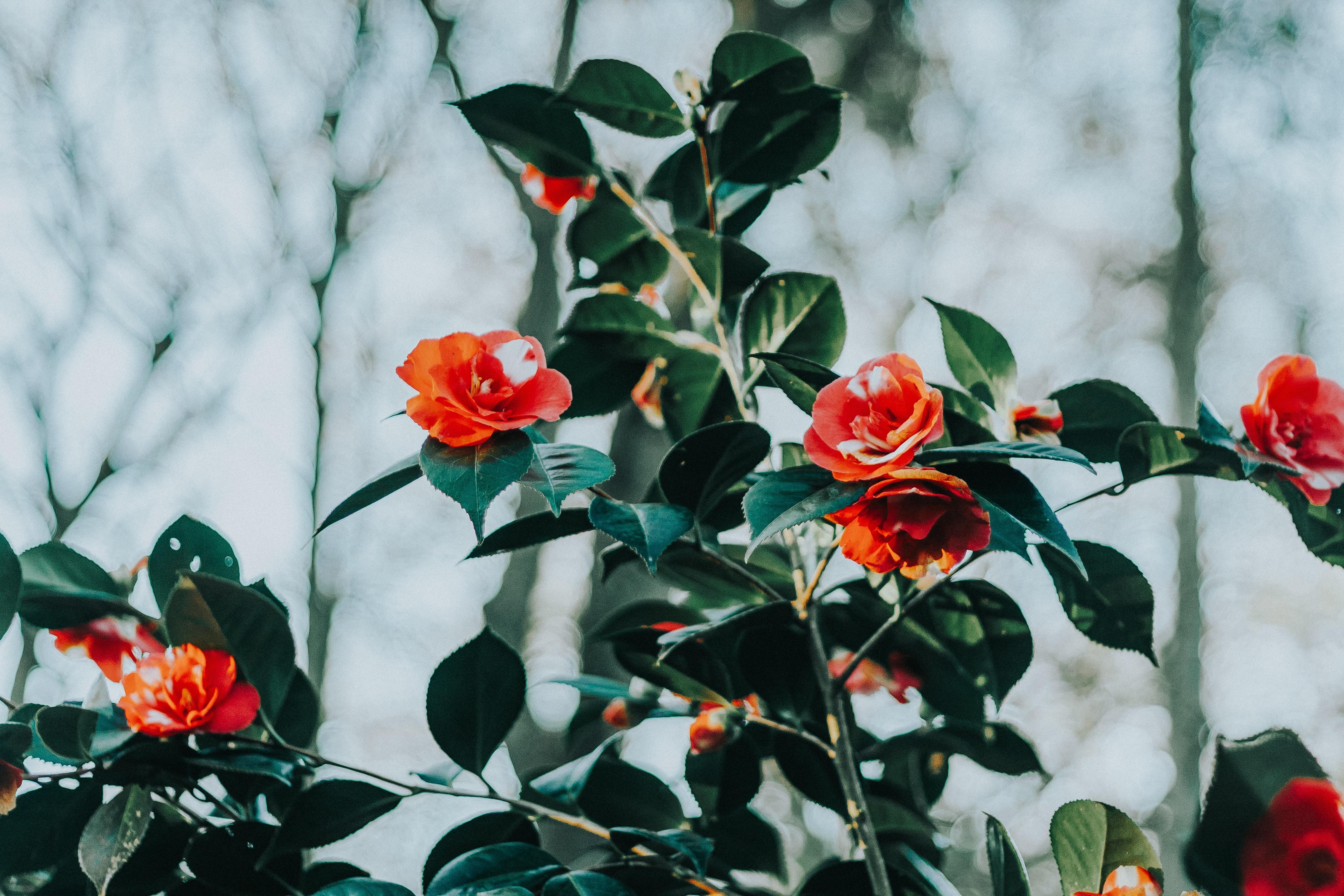 tilt shift lens photography of red flower
